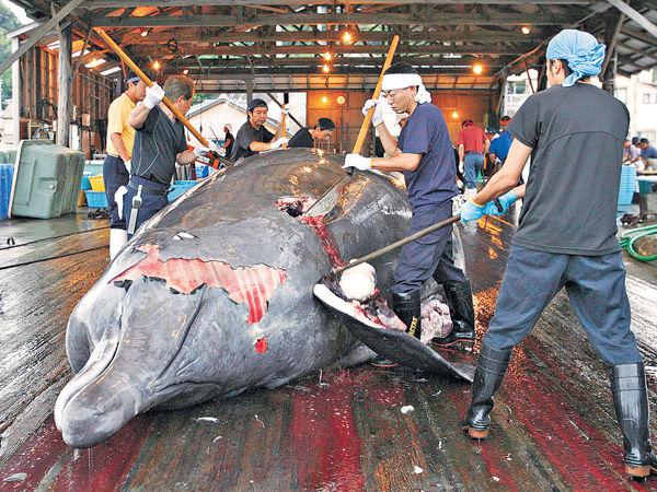日船隊南極捕鯨 歐盟譴責