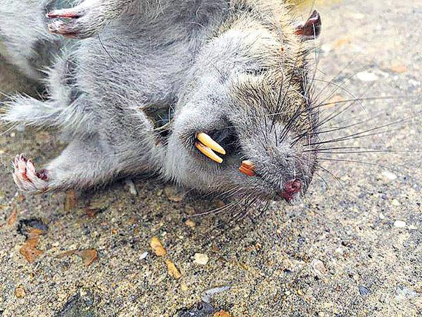 科學家倡基因改造「滅鼠」
