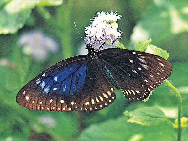 深水灣越冬斑蝶倍增 品種趨單一