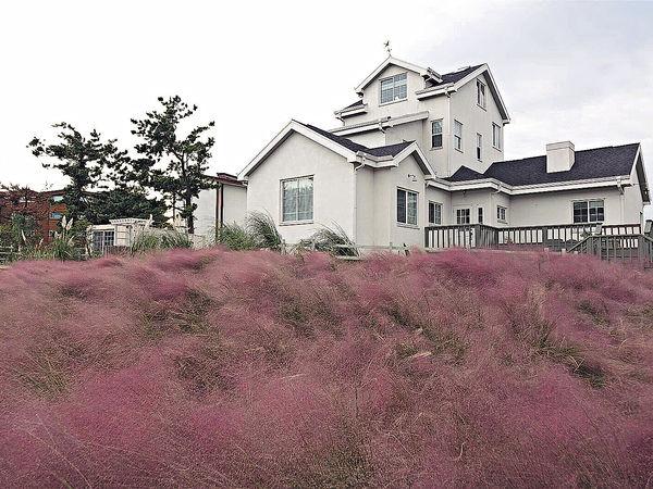 濟州島 秋日粉紅芒草海打卡