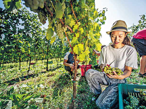 澳洲工作假期可延至3年 須務農半年