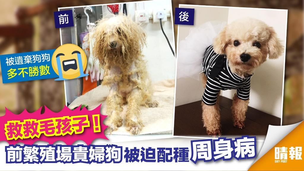 【急救毛孩】前繁殖場貴婦狗狗周身病 請領養代替購買!