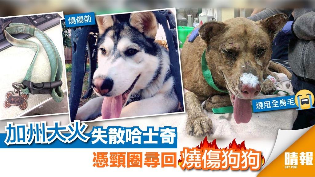 加州大火失散狗狗被燒至面目全非 主人全憑頸圈尋回