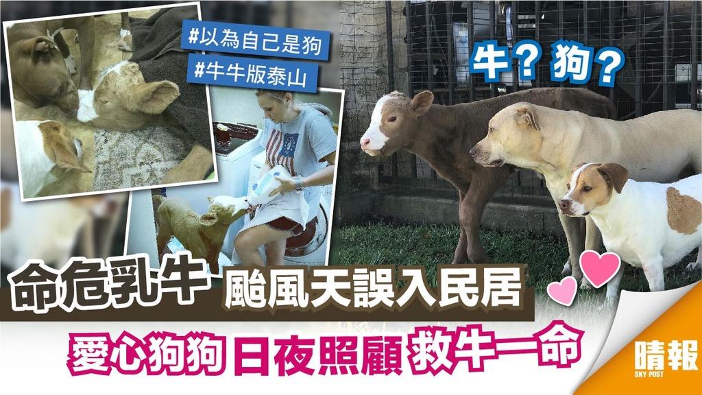 乳牛誤闖民居成寵物 被狗狗救回一命 結局竟...