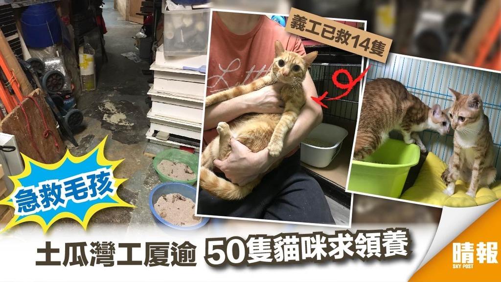 【急救毛孩】土瓜灣工廈50隻放養貓待領養