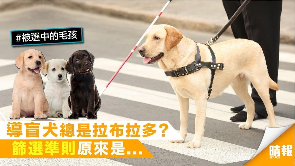 拉布拉多脫穎而出 成最佳導盲犬