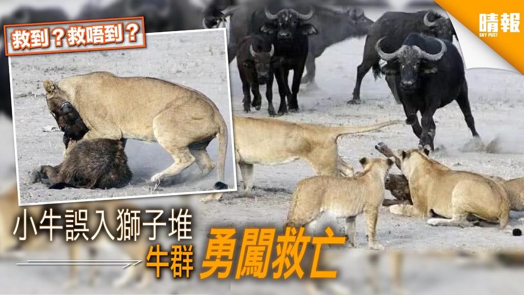 小牛誤入獅子堆 牛父母勇闖救亡