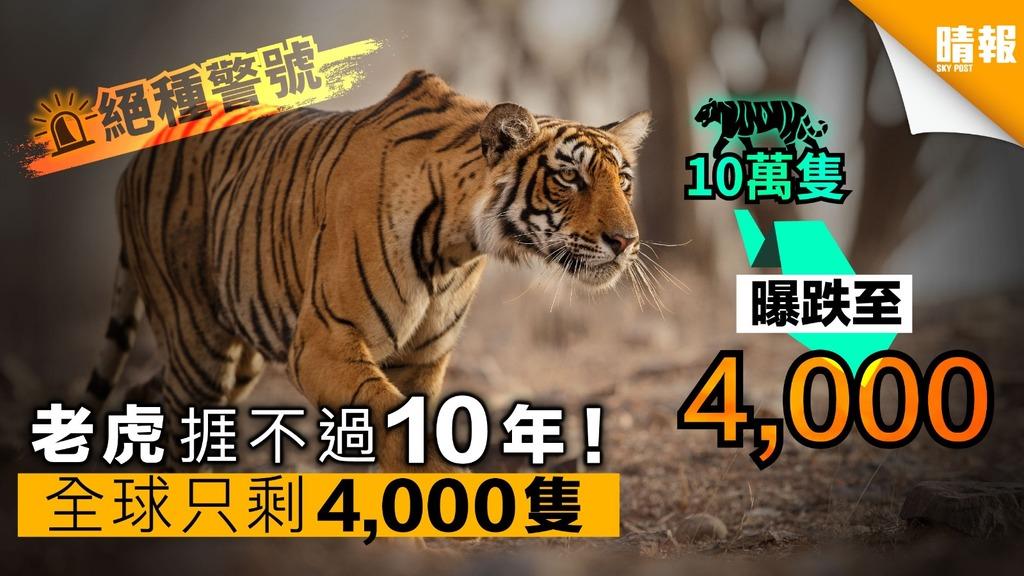 救救百獸之王!全球只餘4,000隻老虎 預計10年內絕種