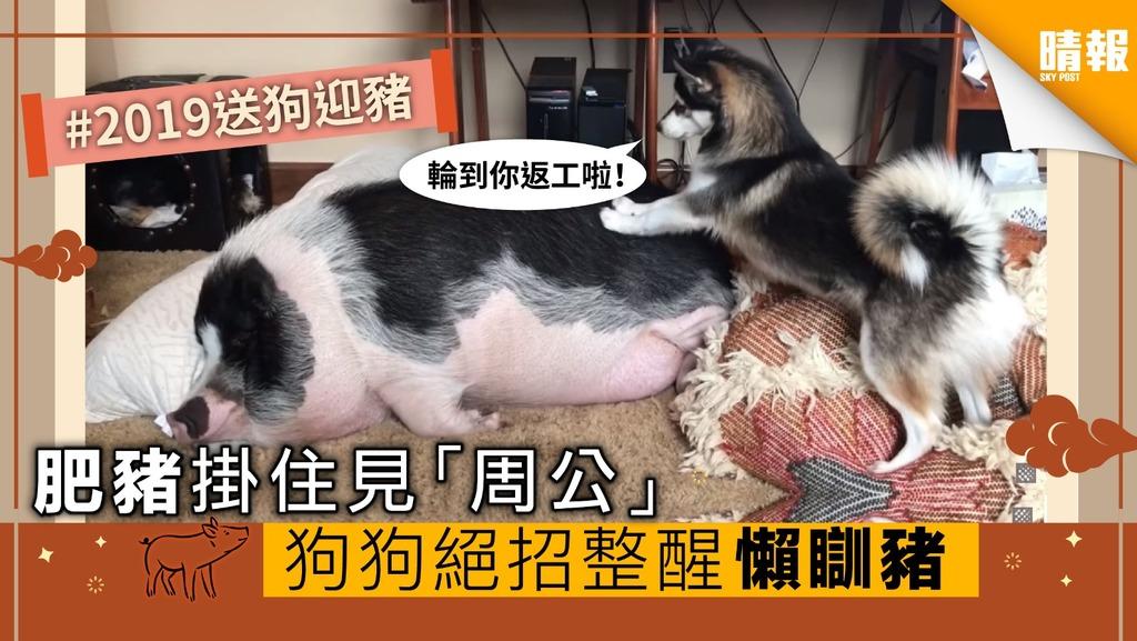 【內有影片】肥豬掛住見「周公」 狗狗洗絕招摷醒懶瞓豬