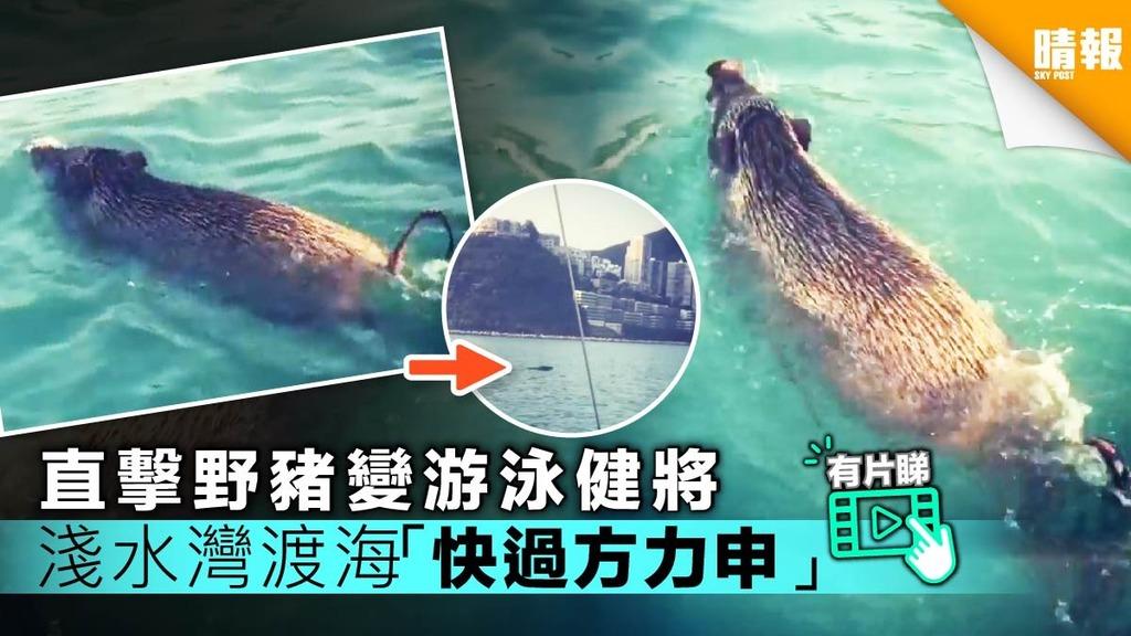 【有片】直擊野豬變游泳健將 淺水灣渡海 網民驚嘆:「快過方力申!」