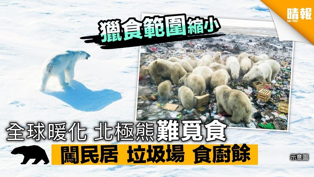 全球暖化 北極熊難覓食 闖民居 垃圾場 食廚餘