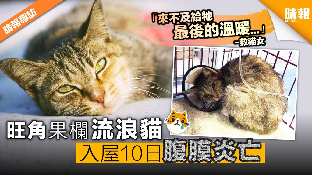 旺角果欄浪流貓 愛貓女救入屋10日腹膜炎亡
