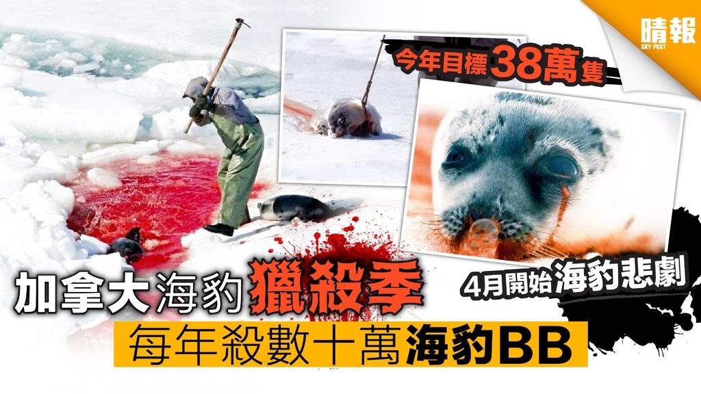 四月開始!加拿大海豹獵殺季 每年殺數十萬海豹BB
