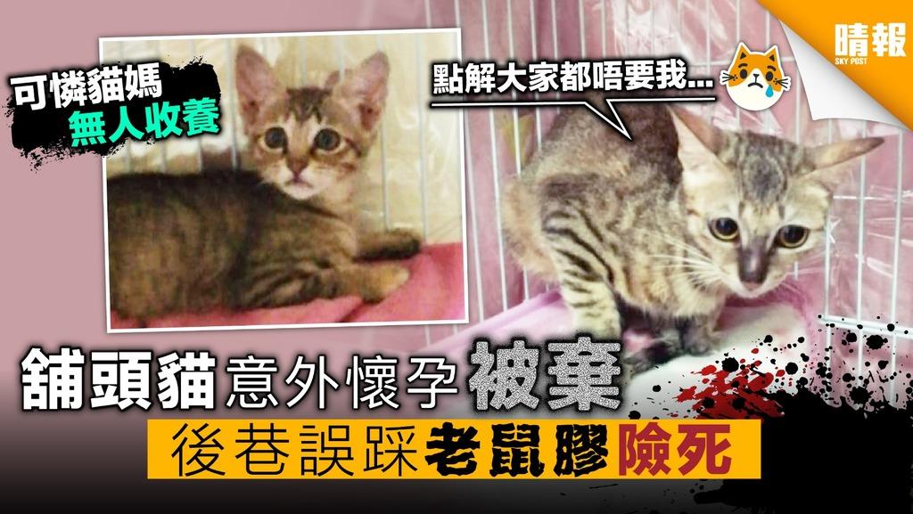 舖頭貓意外懷孕被棄 後巷誤踩老鼠膠險死