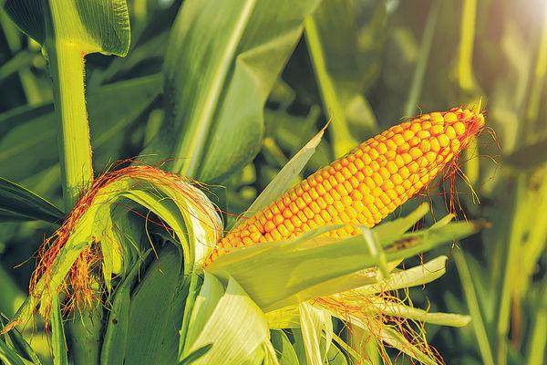 中大研新耕種法 減肥料用量增收成
