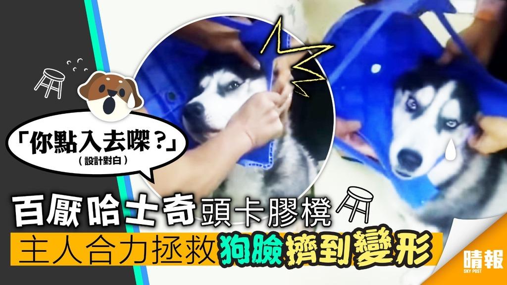 (內附影片連結) 百厭哈士奇 頭卡膠櫈 主人合力拯救 狗臉擠到變形