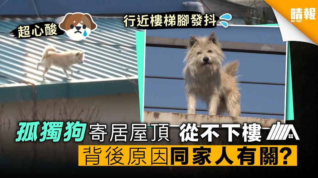 孤獨狗寄居屋頂 從不下樓 背後原因同家人領養有關?