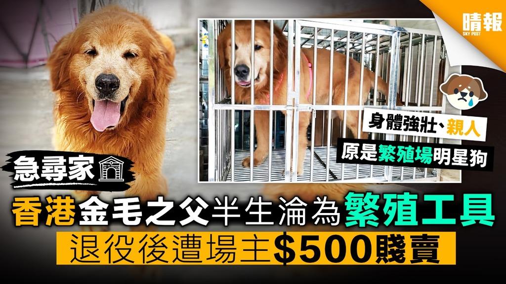 香港金毛之父半生淪為繁殖工具 退役後遭場主$500賤賣