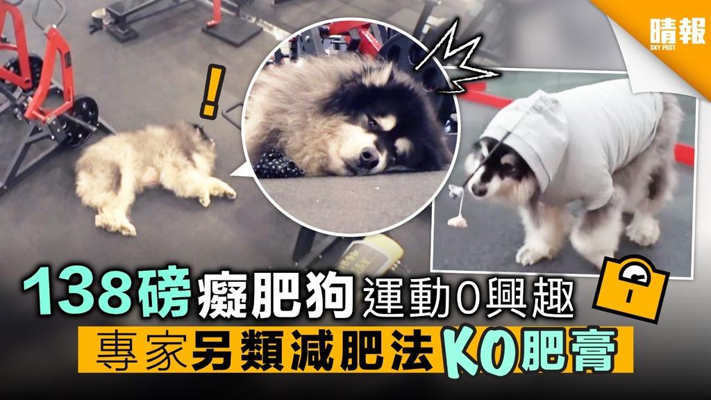 (內附影片) 138磅癡肥狗 運動0興趣 專家另類減肥法 KO肥膏