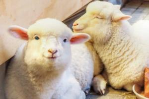 【首爾Cafe 2021】韓國首爾兩層高農場主題綿羊Cafe 可愛羊咩咩向你撒嬌賣萌~
