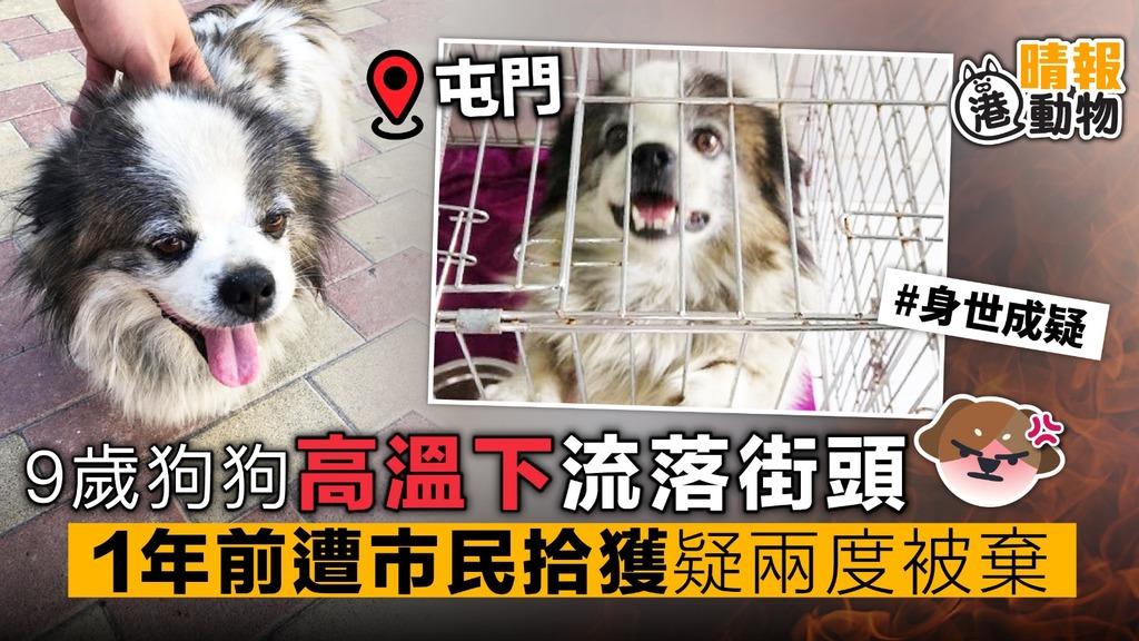 9歲狗狗 高溫下流落街頭 1年前遭市民拾獲 疑兩度被棄