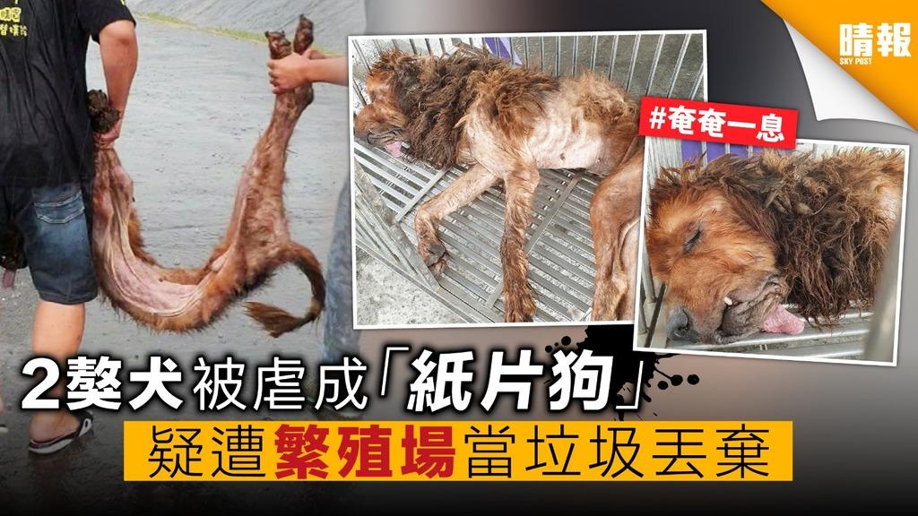 2獒犬被虐成「紙片狗」 疑遭繁殖場 當垃圾丟棄