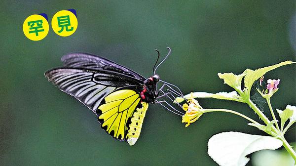 夏至賞蝶好時機 珍稀品種最活躍