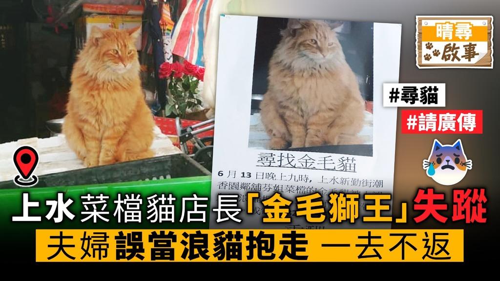 菜檔貓店長「金毛獅王」失蹤 夫婦誤當浪貓抱走 一去不返