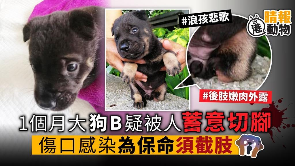 1個月大唐狗B 疑被人蓄意切腳 傷口感染 為保命須截肢