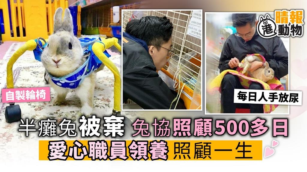 半癱兔被棄 兔協照顧500多日 愛心職員領養回家 照顧一生