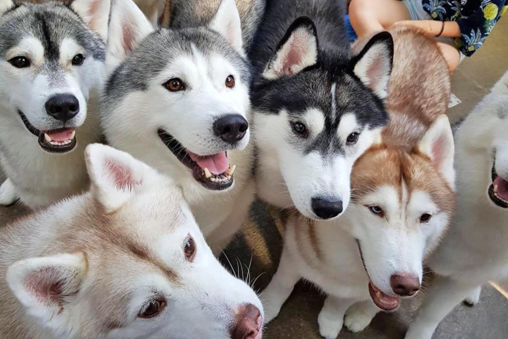 【曼谷Husky Cafe】泰國曼谷人氣大狗Cafe 熱情可愛雪橇狗/牧羊犬融化你心!