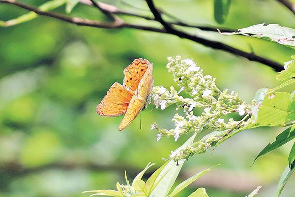 非常罕見蝴蝶 14年後再現南大嶼