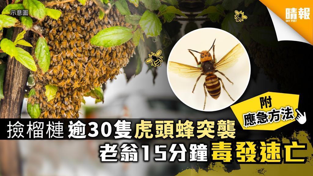 老翁撿榴槤時逾30隻虎頭蜂突襲 臉部紅腫毒性發作慘死【附應急方法】