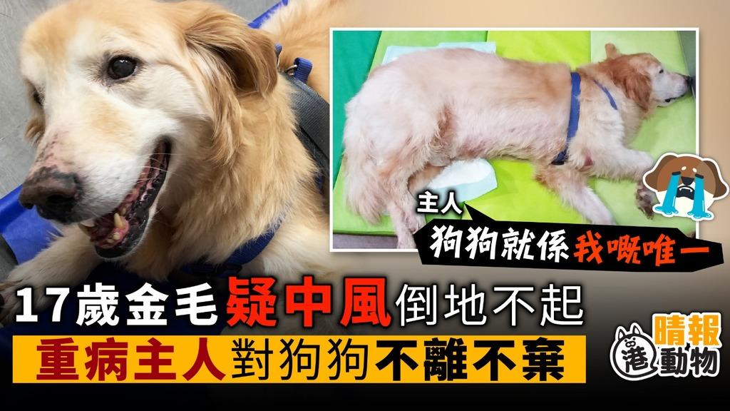 17歲金毛疑中風 倒地不起 重病主人 對狗不離不棄