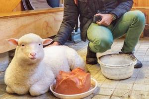 【日韓動物Cafe】日本韓國可愛動物Cafe精選  親親迷你豬/大型犬/兔仔/綿羊