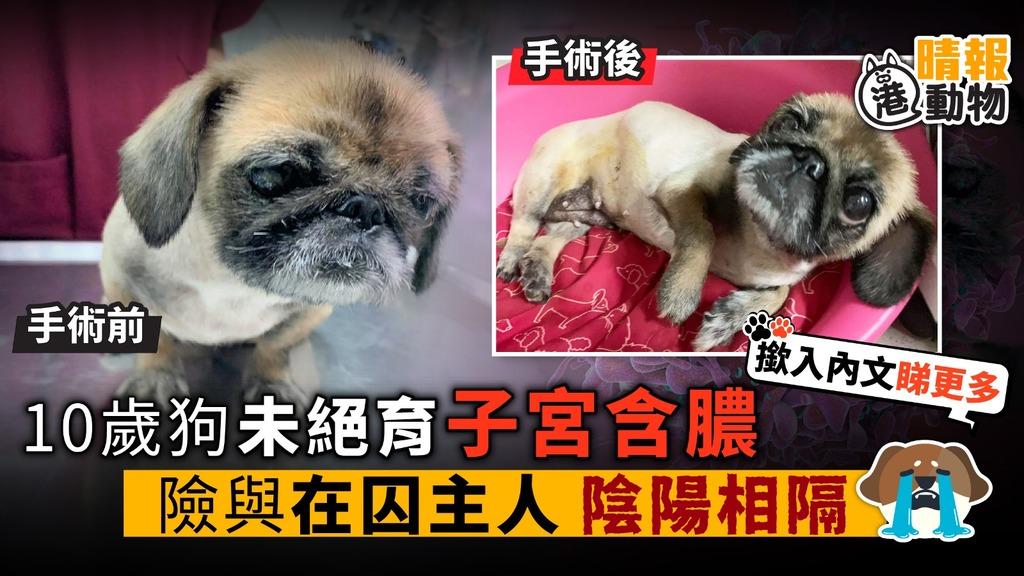 10歲狗未絕育 子宮含膿 險與在囚主人 陰陽相隔