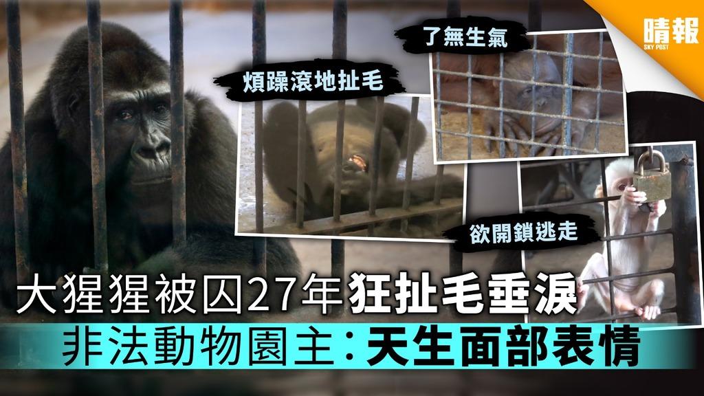 大猩猩被囚27年狂扯毛垂淚 非法動物園主:天生面部表情