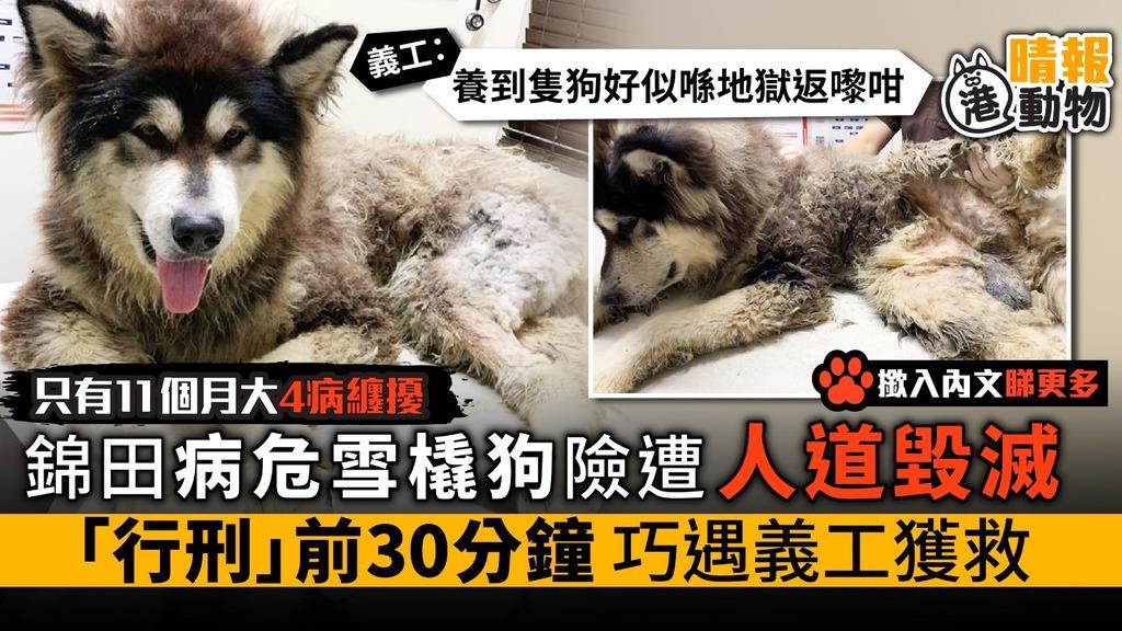 錦田病危雪橇狗遭送人道毀滅 「行刑」前30分鐘 巧遇義工拯救