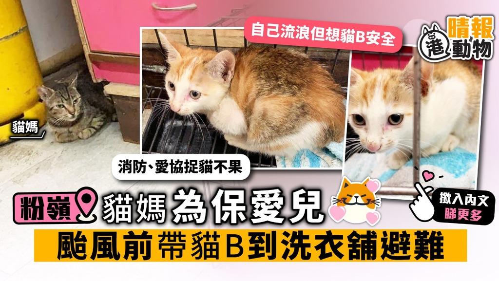 粉嶺貓媽為保愛兒 颱風前帶貓B到洗衣舖避難