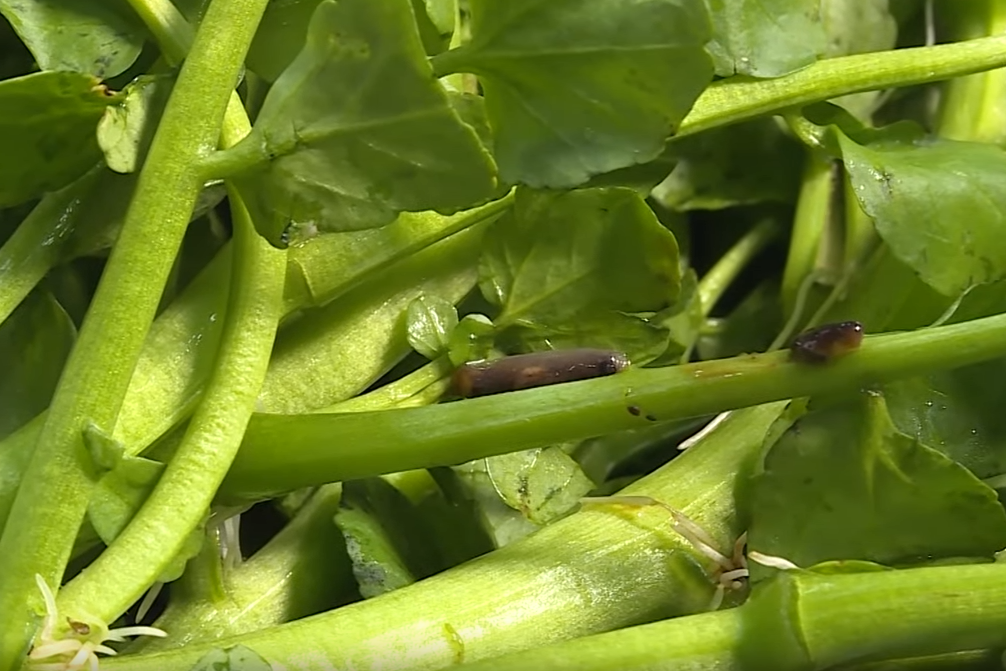 【菜蟲】農夫拆解最多菜蟲蔬菜排行榜  大廚教你徹底洗淨常見蔬菜