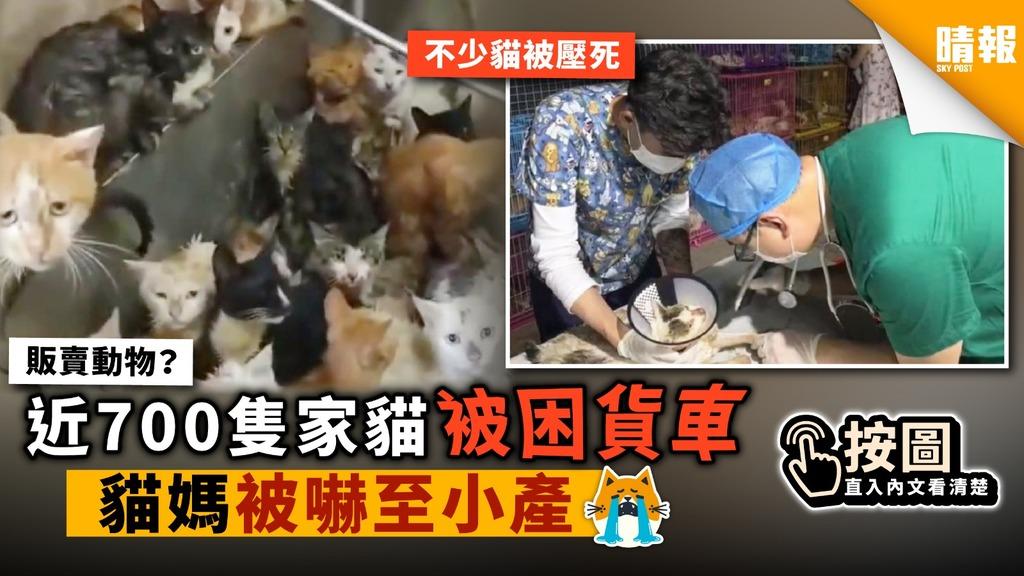 近700隻家貓被困貨車 貓媽被嚇至小產