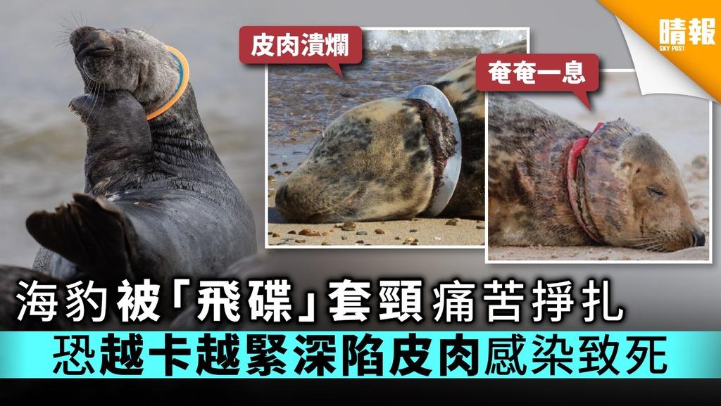 海豹被「飛碟」套頸痛苦掙扎 恐越卡越緊深陷皮肉感染致死