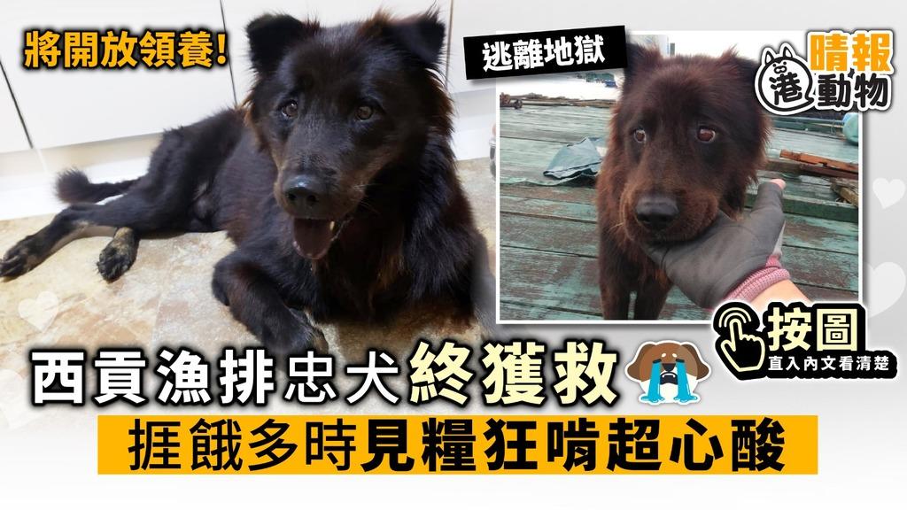 西貢漁排忠犬終獲救 狗狗捱餓多時見糧狂啃超心酸