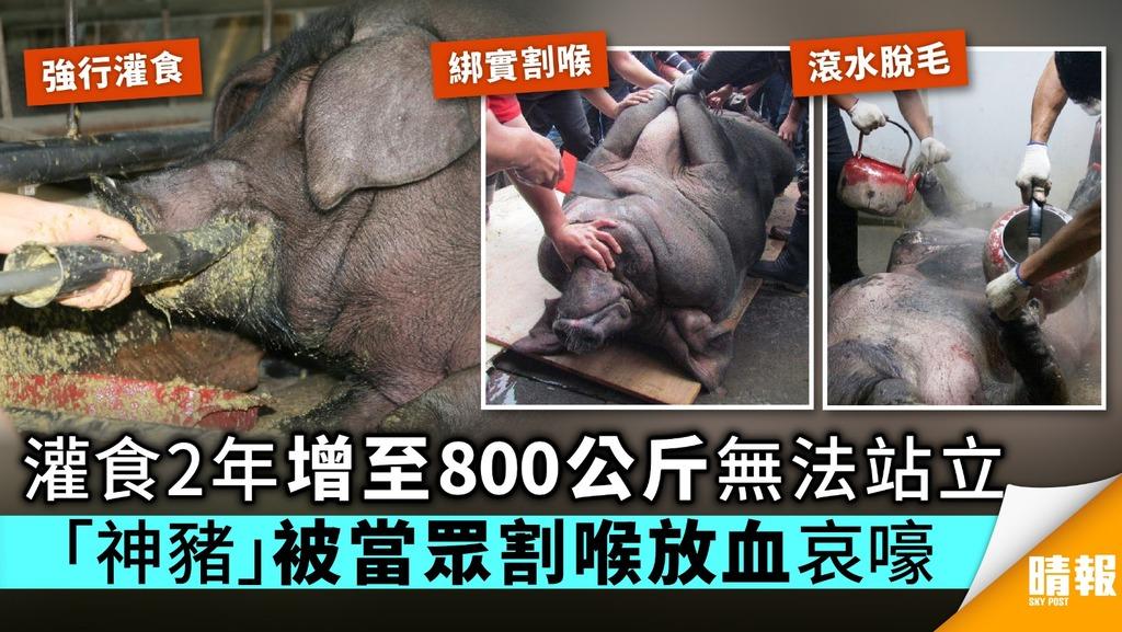 灌食2年增至800公斤無法站立 「神豬」被當眾割喉放血哀嚎