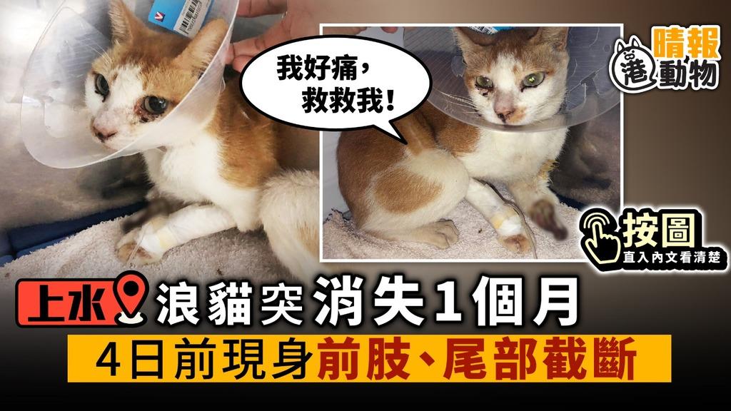 上水浪貓 突消失1個月 4日前現身 前肢、尾部截斷