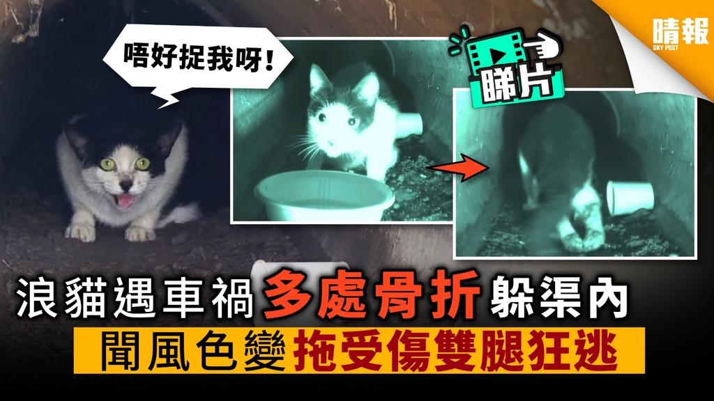 【內附影片】浪貓遇車禍 多處骨折 躲渠內 聞聲色變 拖受傷雙腿狂逃
