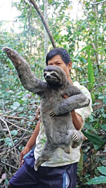 遊亞馬遜河 遇可愛名物野生樹懶
