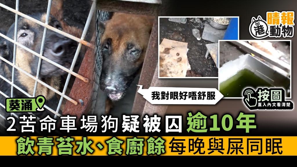 葵涌2車場狗 疑被囚逾10年 飲青苔水、食廚餘 與屎同眠