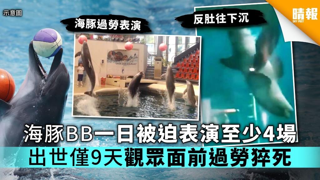 海豚BB一日被迫表演至少4場 出世僅9天觀眾面前過勞猝死