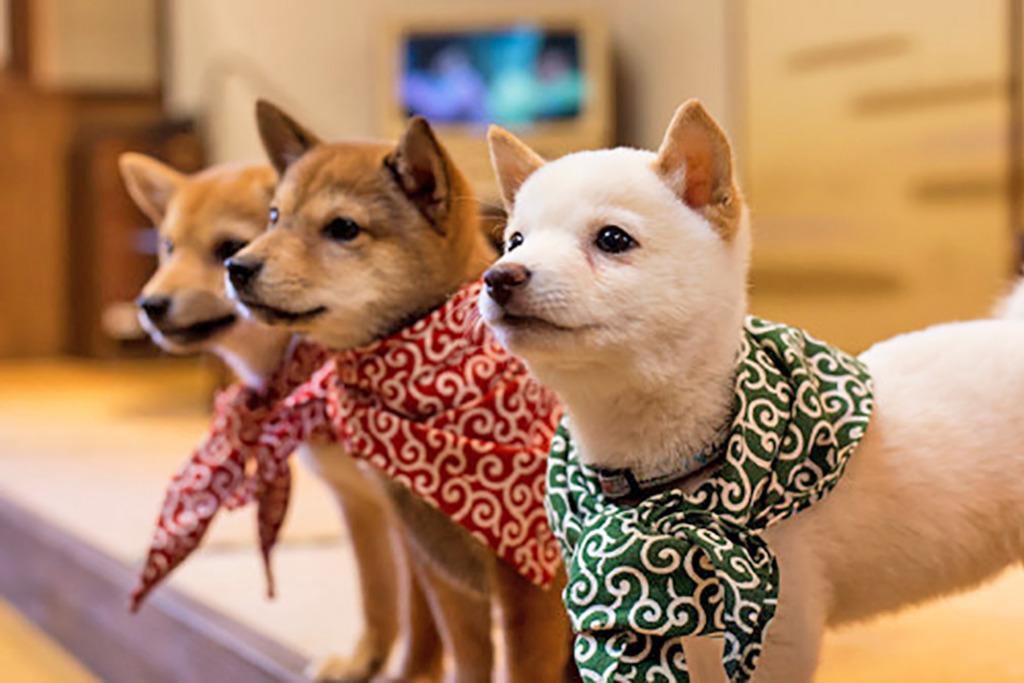 【柴犬Cafe 東京/柴犬Cafe】日本柴犬Cafe「豆柴カフェ」 可愛赤柴/黑柴賣萌俘虜你心!